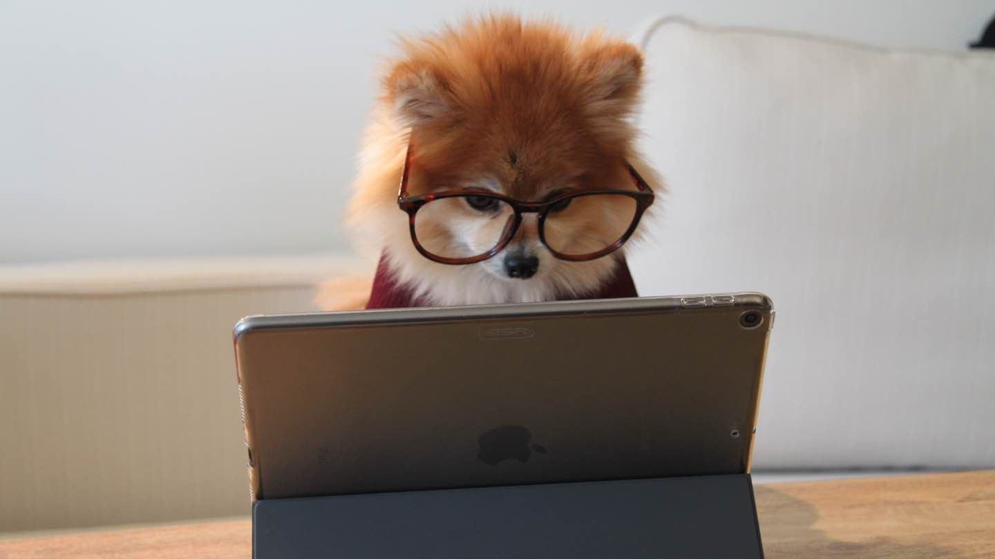 Pomeranian with glasses reads tablet.