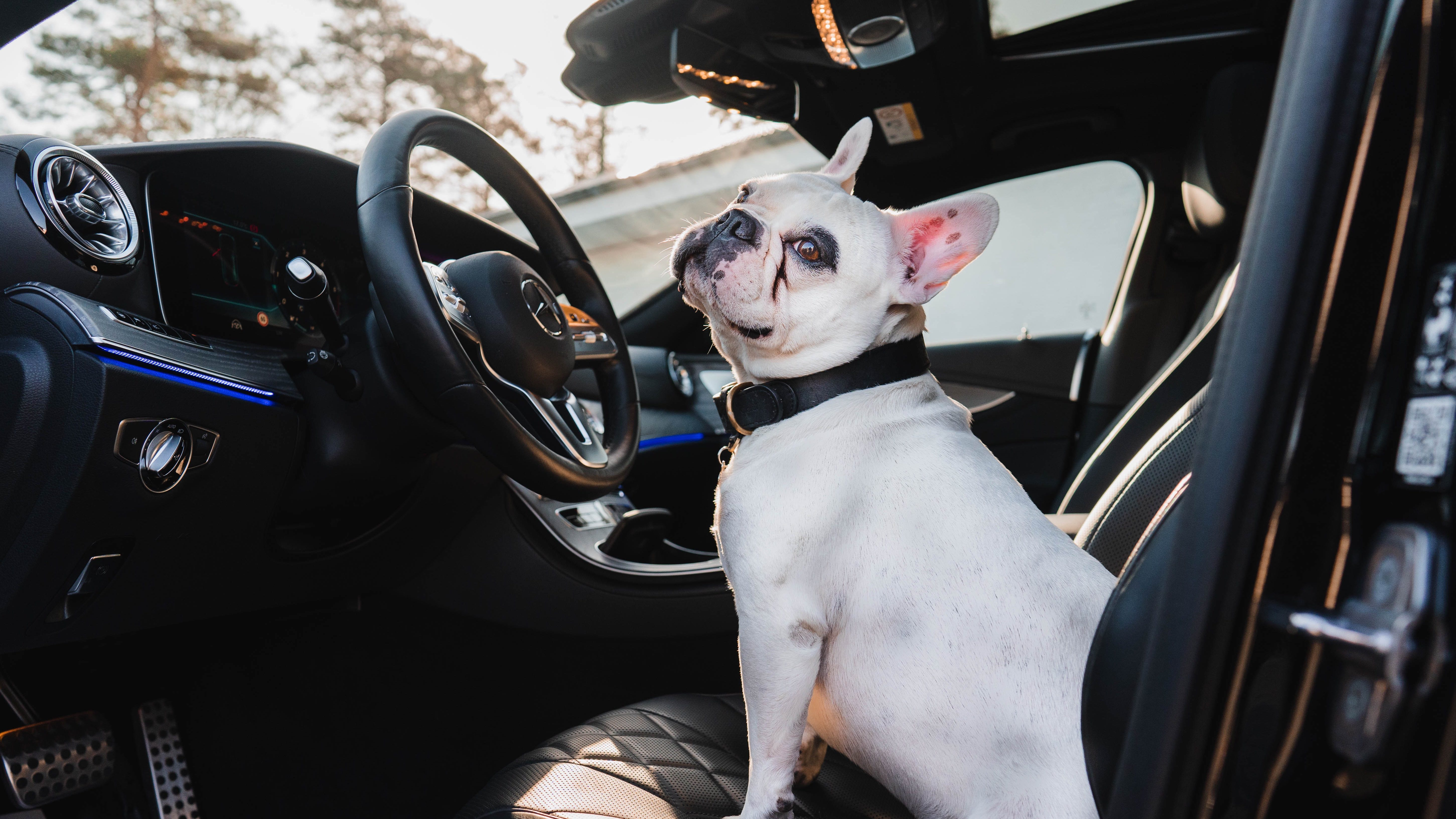 Dog sitting in a Mercedes-Benz car at the wheel.