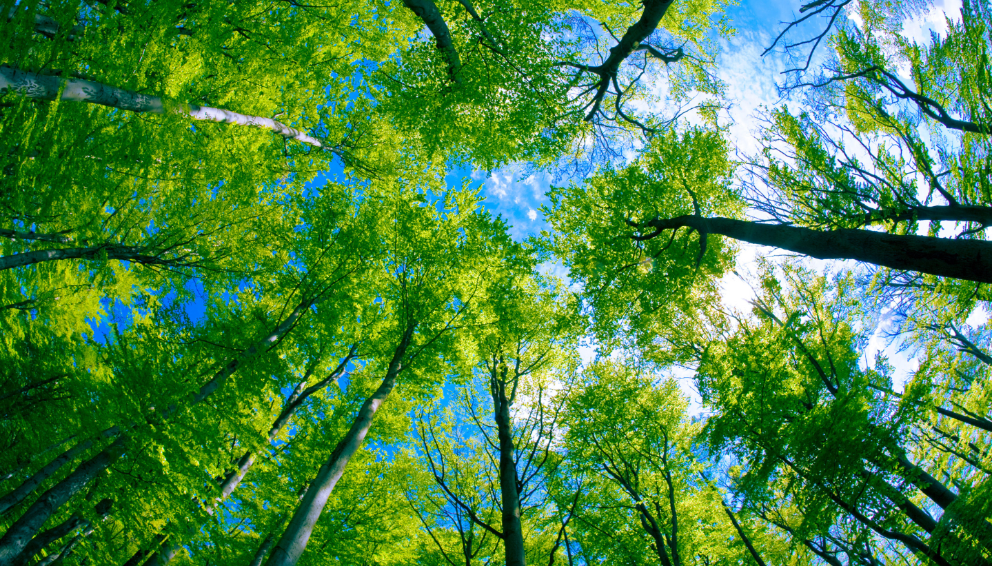 Tree canopy view from the ground