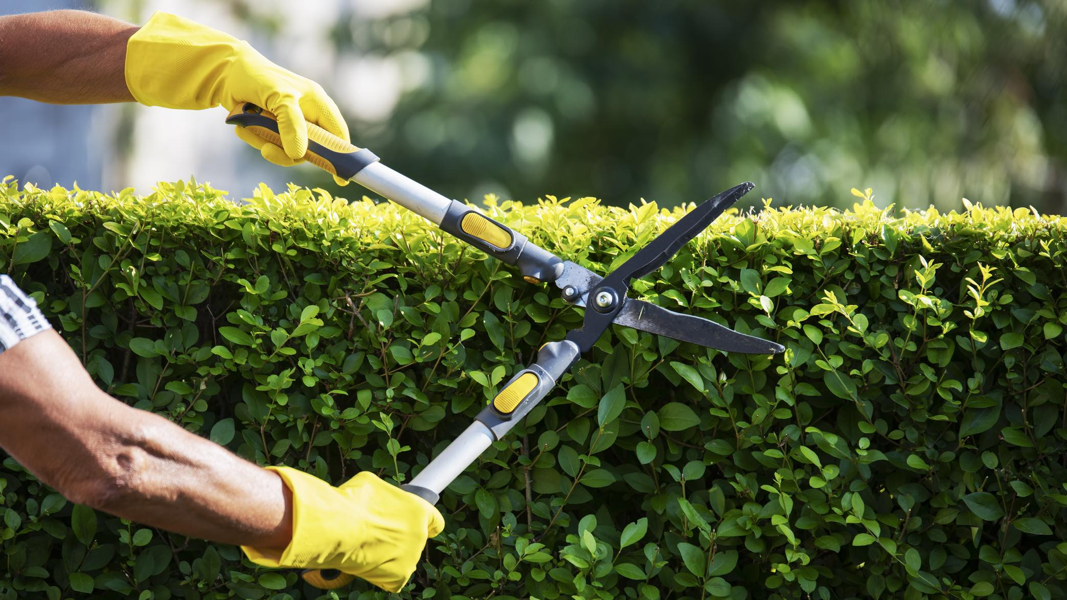 Person wearing gloves using shears to cut hedge, similar to savings interest rate cuts.
