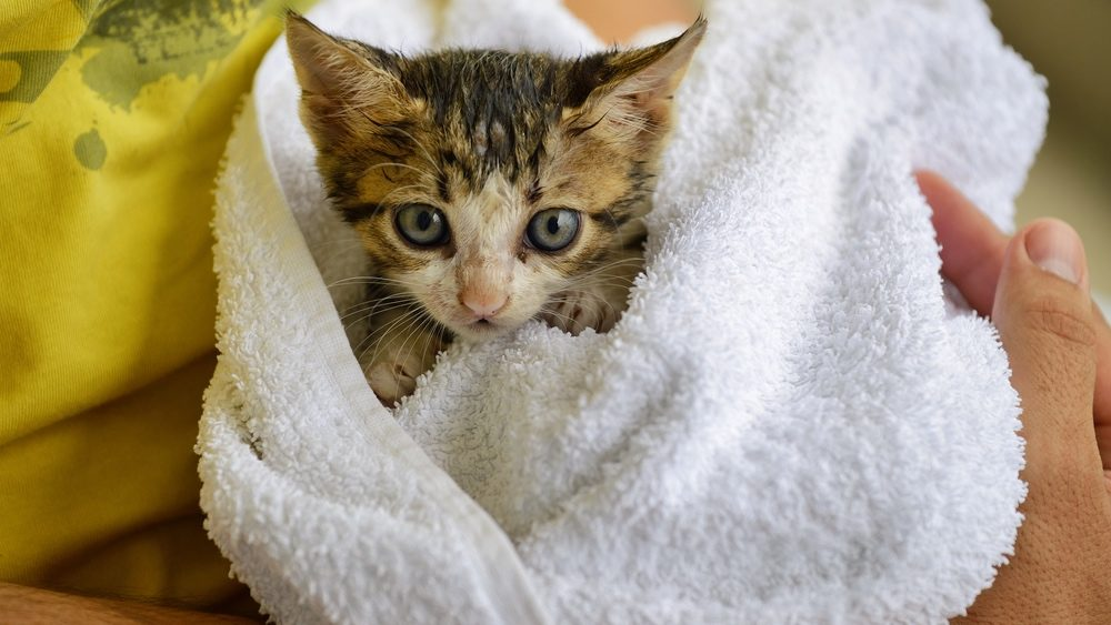Rescue kitten wrapped in towel being held post-adoption.