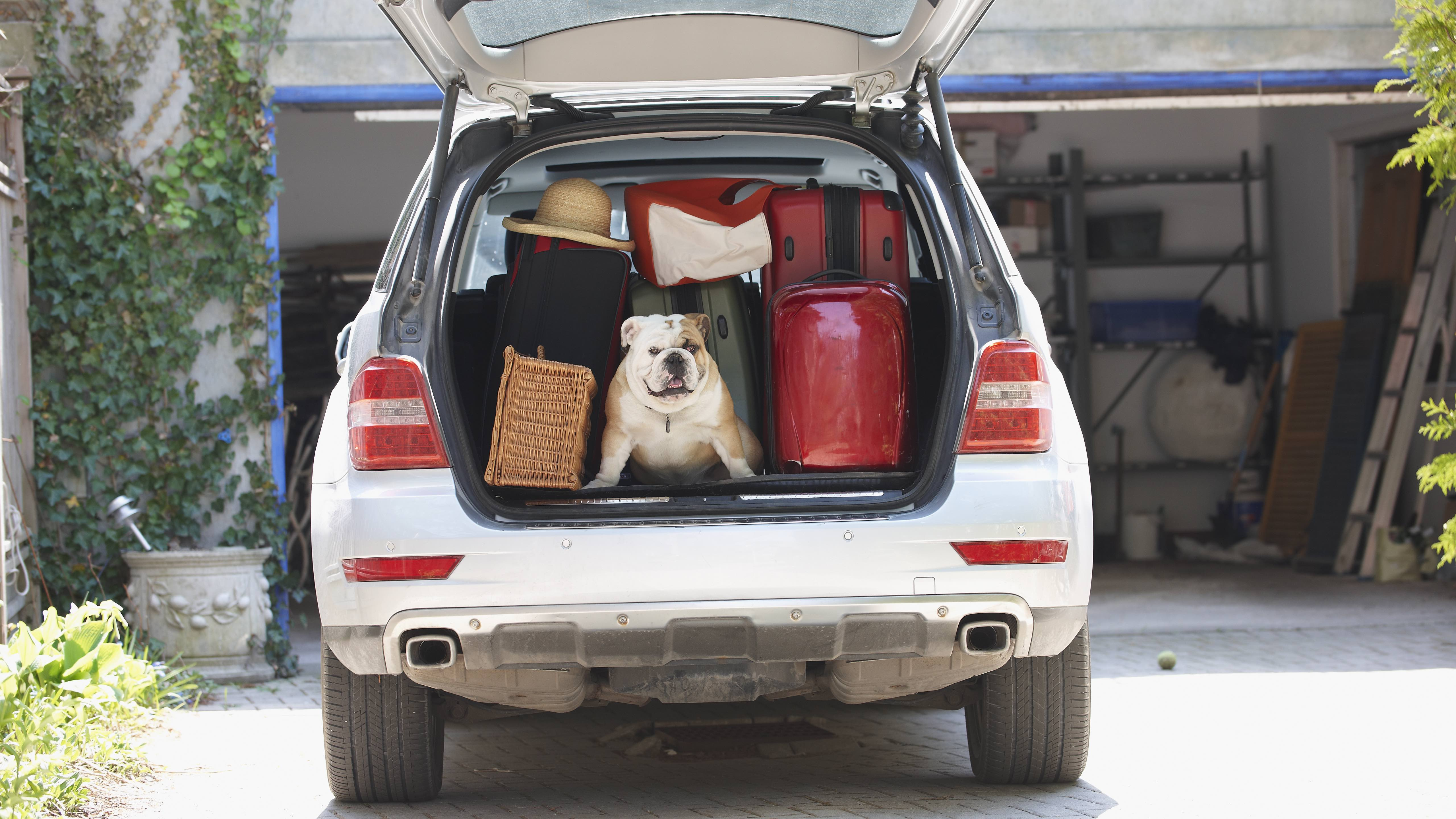 Dog and luggage in an open car boot with car insurance.
